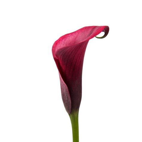 Mini Calla Lily, Cherry (50 stems)