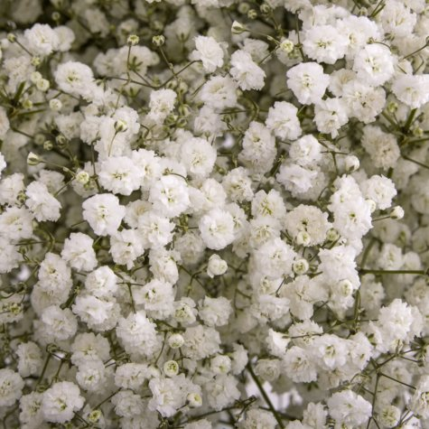 Gypsophilia, Mirabella (choose 5 or 10 bunches)