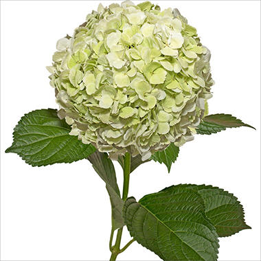 Jumbo Hydrangeas, Kiwi (Choose 12 or 20 Stems)