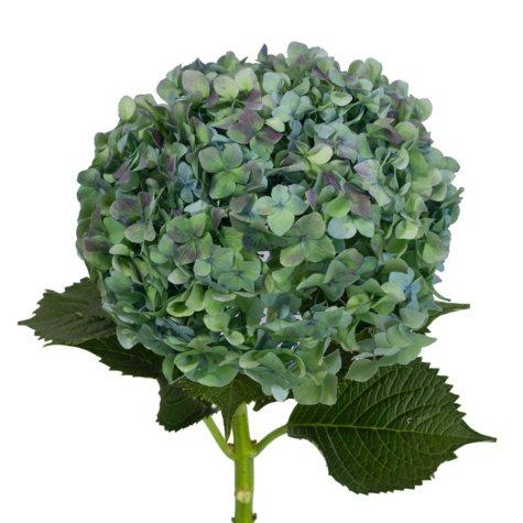 Jumbo Hydrangea, Hulk (choose 12 or 20 stems)