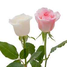 Roses, Light Pink and White Combo (100 stems)