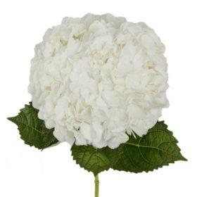 Bulk hydrangeas sams club hydrangea white 20 stems mightylinksfo