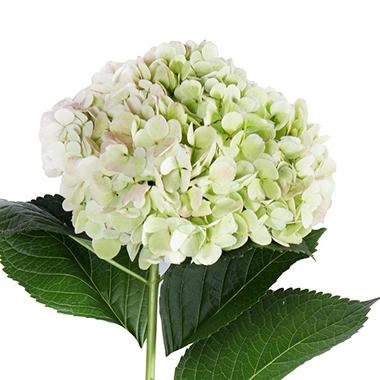 Jumbo Hydrangea, Antique Green (Choose stem count)