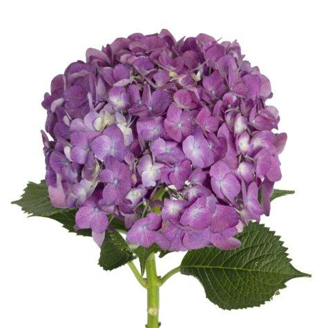 Hydrangea, Elite Purple (20 stems)