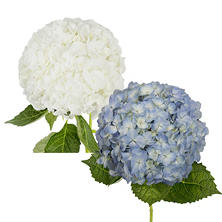 Hydrangea, Bicolor Blue and White (20 stems)
