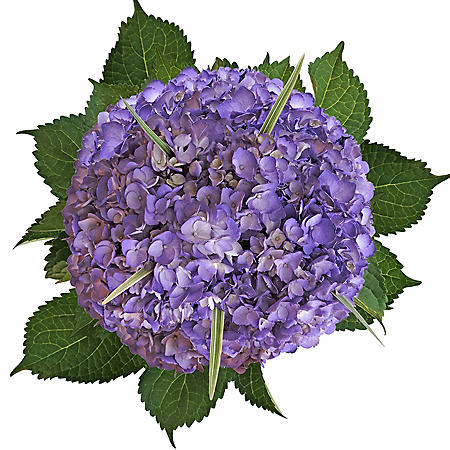 Hydrangea and Lily Grass Bouquet, Painted Lavender (8 bouquets)