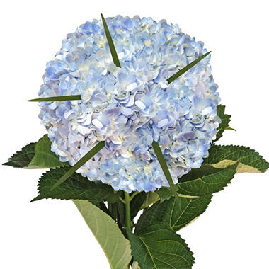 Hydrangea Bouquet with Lily Grass and Petals, Blue (8 bouquets and 2,000 petals)