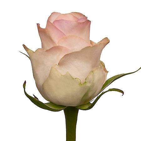 Roses, Senorita (choose 50 or 100 stems)