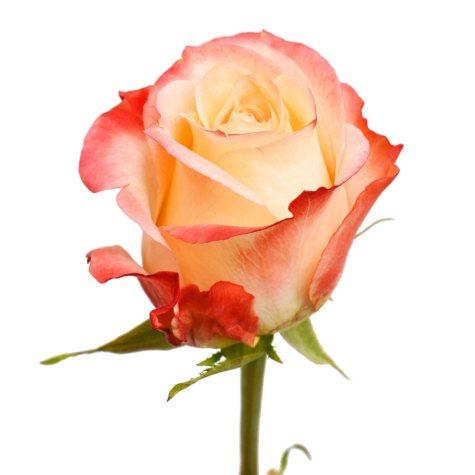 Roses, Cabaret (choose 50 or 100 stems)
