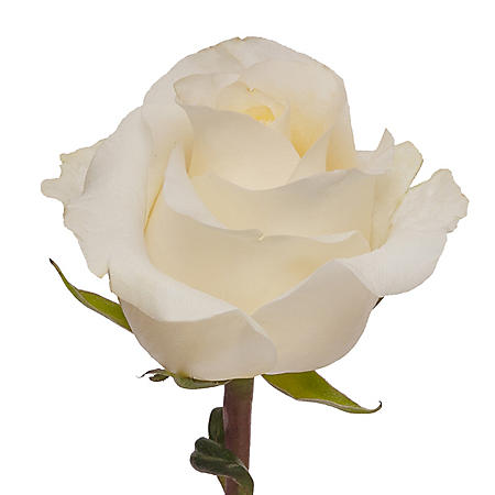 Roses, Creme de la Creme (choose 50 or 125 stems)