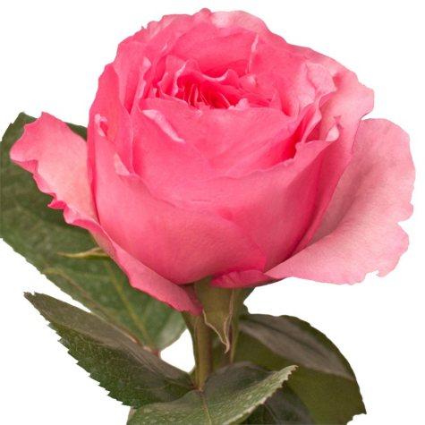 Garden Roses, Mayra  (40 stems)