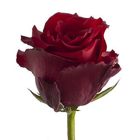 Roses, Explorer (choose 50 or 100 stems)