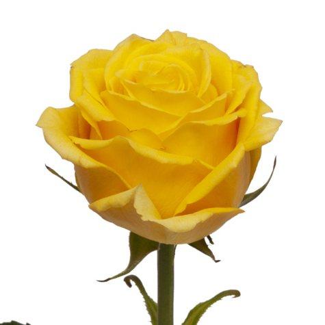 Roses, Bikini (choose 50 or 100 stems)