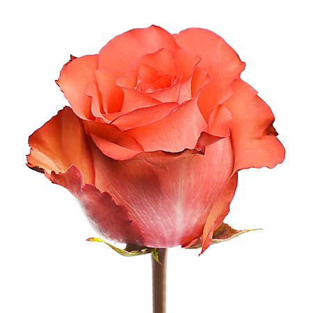Roses, Iguana (choose 50 or 100 stems)