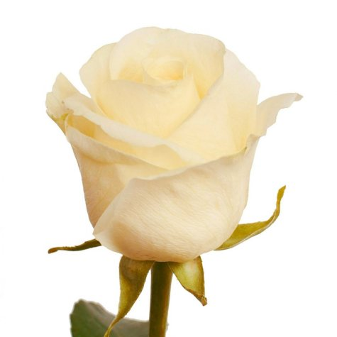 Roses, White Chocolate (choose 50 or 75 stems)
