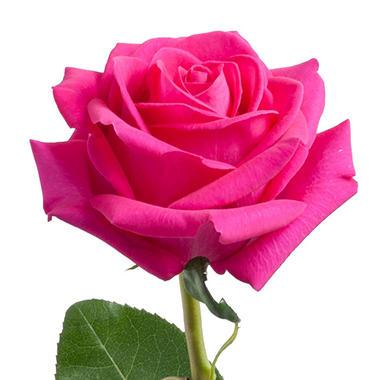 Roses pink floyd choose 50 or 100 stems sams club roses pink floyd choose 50 or 100 stems mightylinksfo