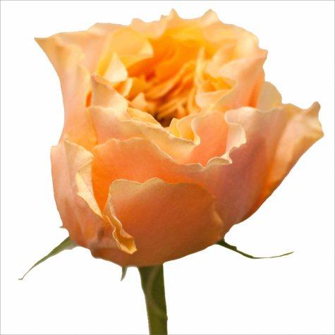 Garden Roses, Cara Luna (40 stems)