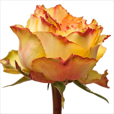 Garden Roses, Monster (40 stems)