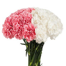 Carnations Wedding Pack, White and Light Pink Combo (200 stems)