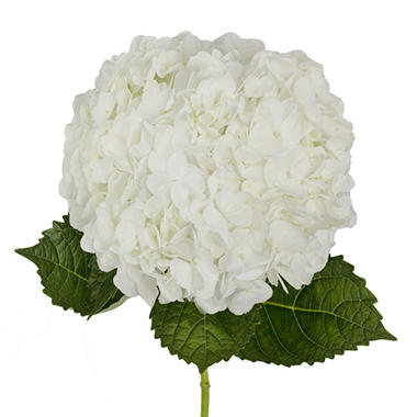 premium hydrangea, white  stems  sam's club, Beautiful flower