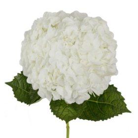 Bulk hydrangeas sams club premium hydrangea white 30 stems mightylinksfo