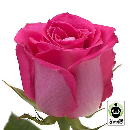 Fair Trade Roses, Hot Pink (75 stems)