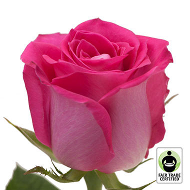 Fair Trade Roses, Hot Pink (75 stems)