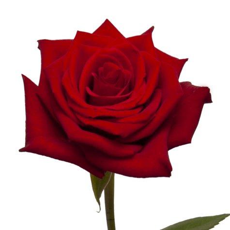 Roses, Scarlata (choose 50 or 100 stems)