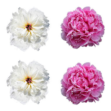 Alaskan Peonies, Pink and White (choose 20 or 100 stems)