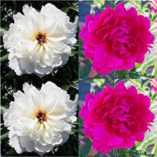 Alaskan Peonies, Hot Pink and White (choose 20 or 100 stems)
