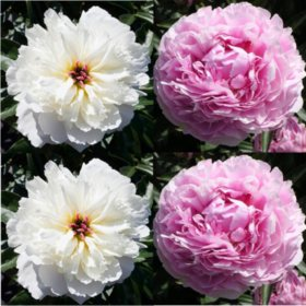 Alaskan Peonies, White and Sarah Bernhardt  (choose 20 or 100 stems)