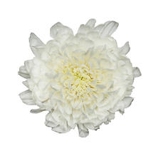 Cremons, White - Choose 40 or 80 Stems
