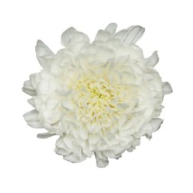 Mums sams club cremons white choose 40 or 80 stems mightylinksfo