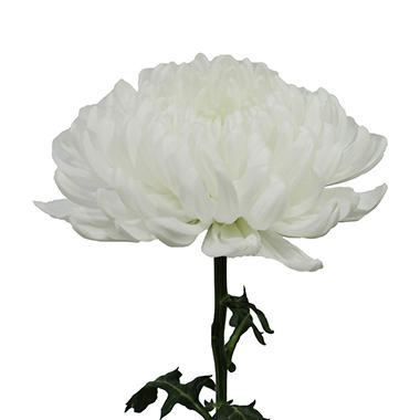 Football Mums, White - Choose 30 or 70 Stems