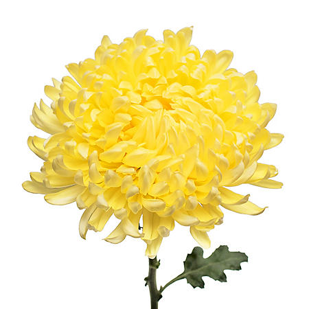 Football Mums, Yellow - Choose 30 or 70 Stems