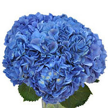 Hydrangea, Shocking Blue (Choose stem count)