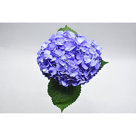 Painted Hydrangea, Periwinkle (choose 24 or 50 stems)