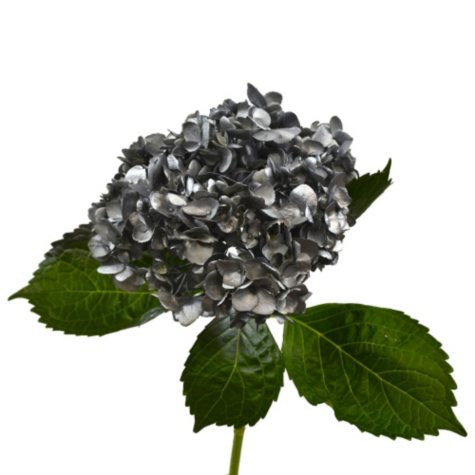 Painted Hydrangea, Silver (choose 24 or 50 stems)
