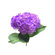 Painted Hydrangea, Violet (choose 24 or 50 stems)