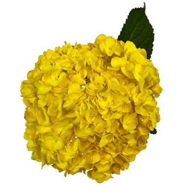 Painted Hydrangea, Yellow (choose 24 or 50 stems)