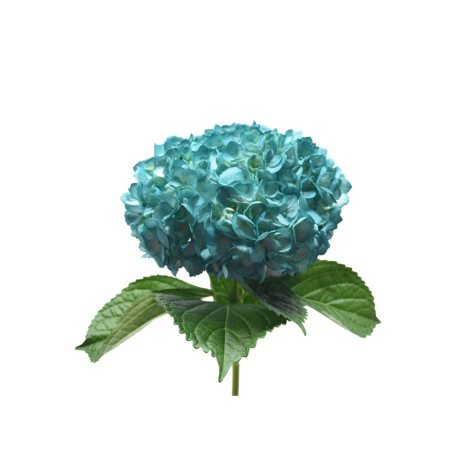 Painted Hydrangea, Teal (choose 24 or 50 stems)