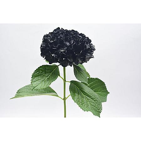 Painted Hydrangea, Black (24 stems)