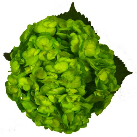 Painted Hydrangea, Kelly Green (choose 24 or 50 stems)