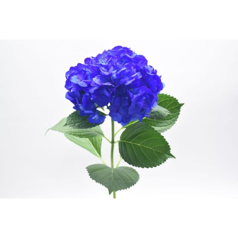 Painted Hydrangea, Navy Blue (choose 24 or 50 stems)