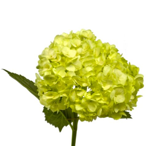 Painted Hydrangea, Lime Green (choose 24 or 50 stems)