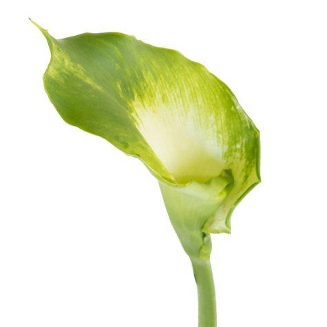Calla Lily, Green (35 stems)