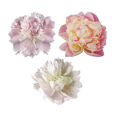 Grower's Choice Premium Alaskan Peonies, Blush (Choose 25 or 50 stems)