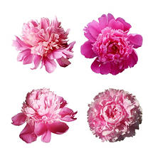 Grower's Choice Alaskan Peonies, Pink (200 stems)