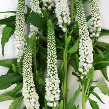 Veronica Flower, White (100 stems)