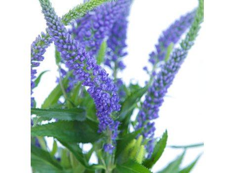 Veronica Flower, Purple (100 stems)